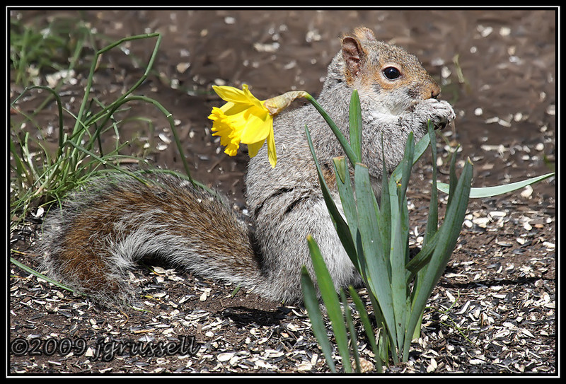 Squirrel and daffodil