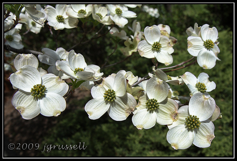 White dogwood in bloom