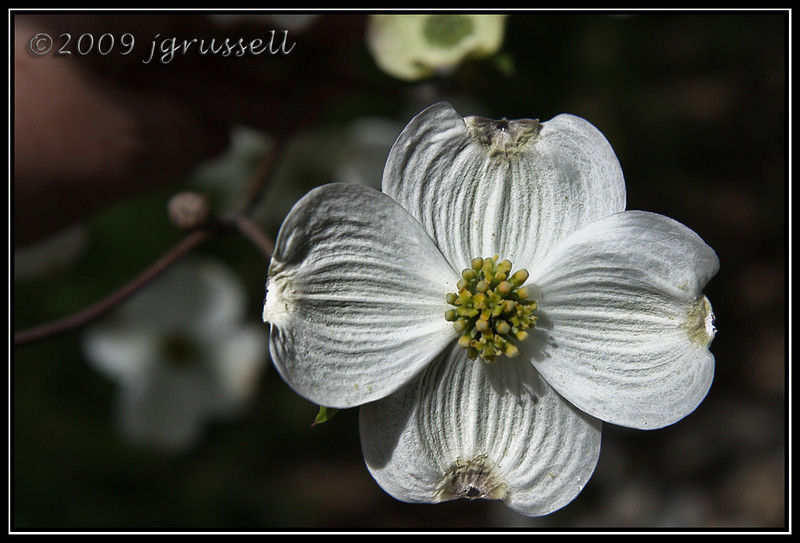 White dogwood in bloom