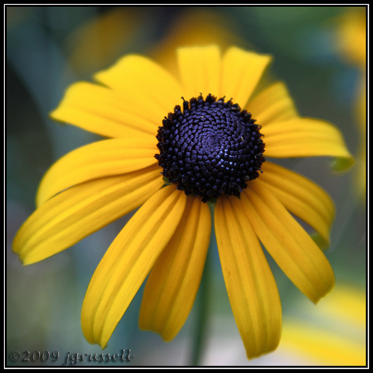 Another view of<br /> black-eyed susan