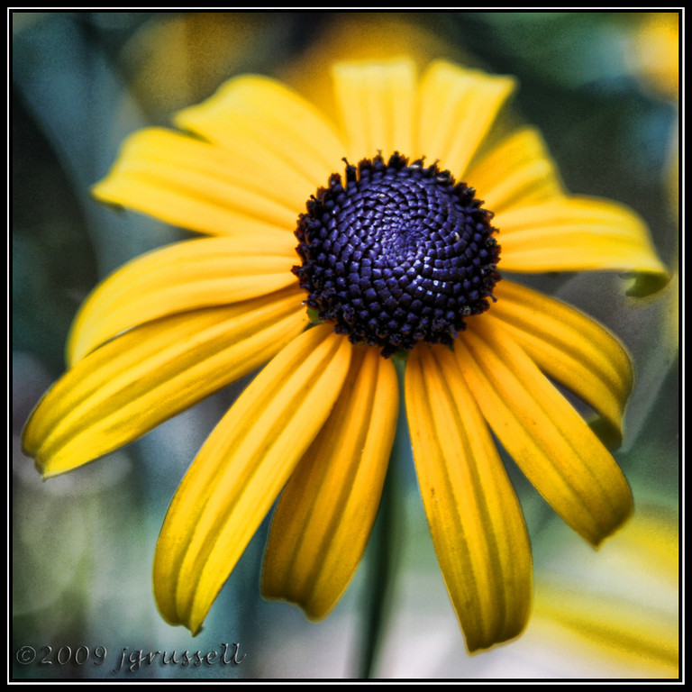 The black-eyed susan