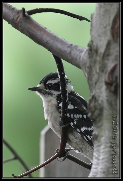 Downy woodpecker<br /> 08 Aug 2009