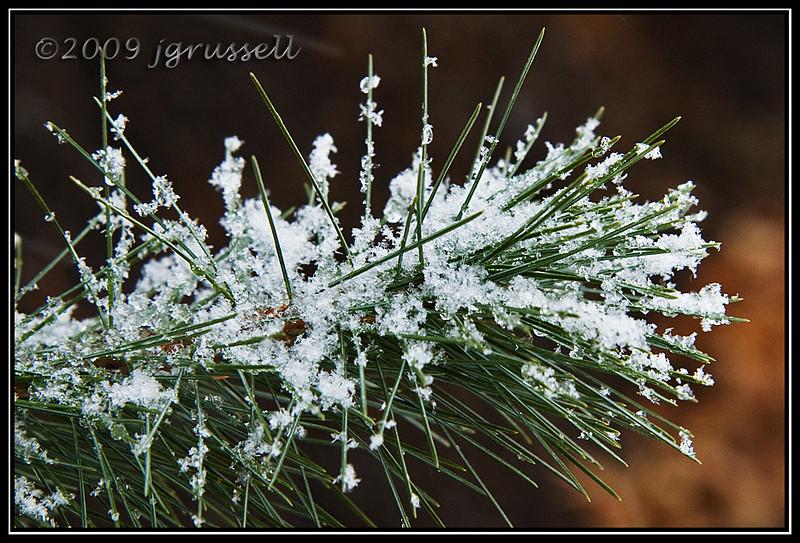 Snowflaky white pine
