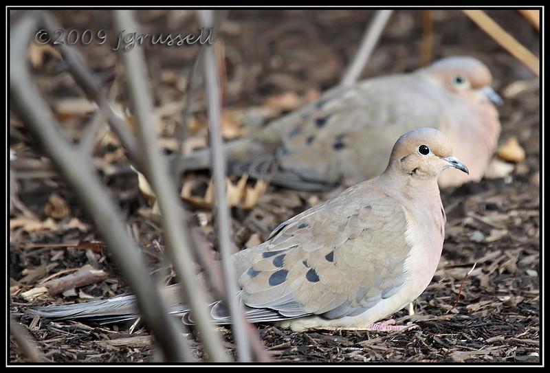 Valentine doves