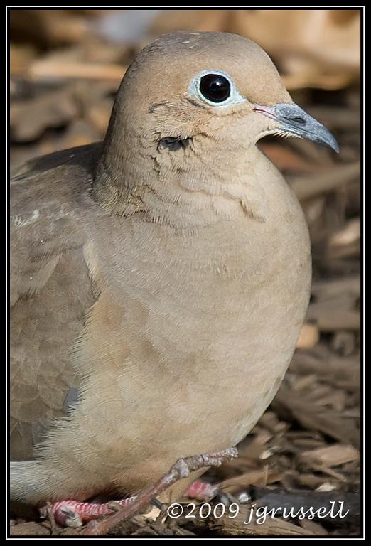Mourning dove - portrait