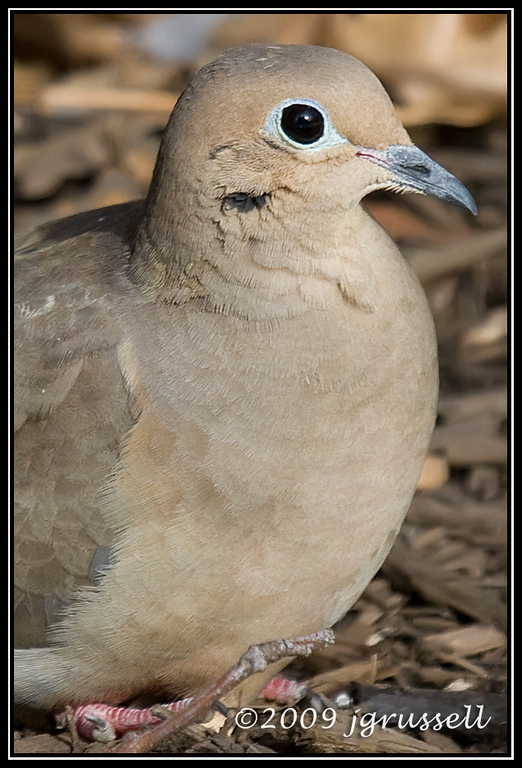 Mourning dove - portrait