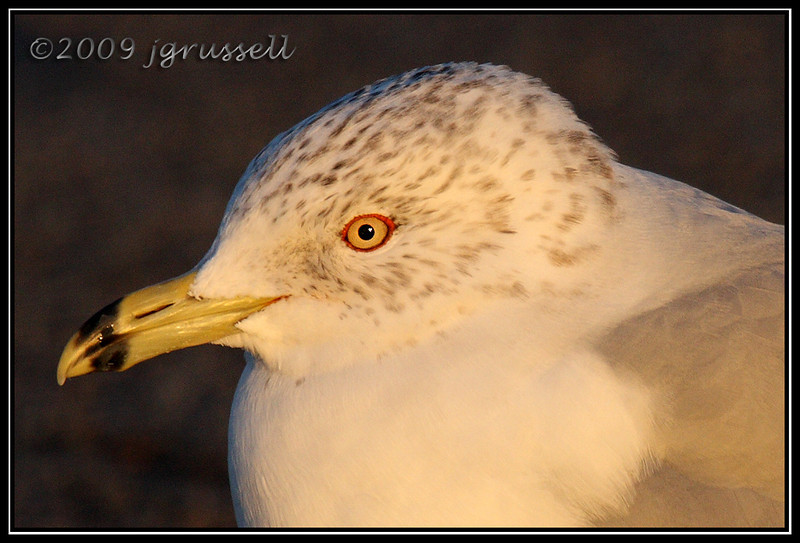 Ring-billed gull in evening light