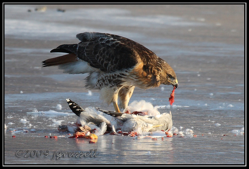 Red Tail Hawk with prey<br /> Branchbrook Park, Newark