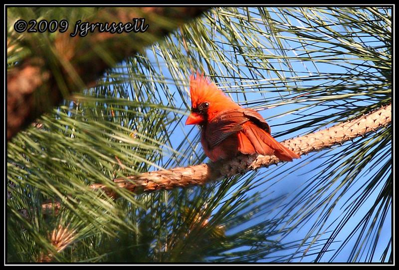 Raleigh cardinal