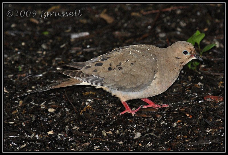 Dove in the rain