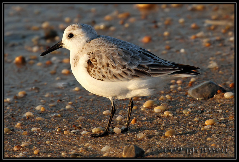 Sanderling<br /> Sandy Hook