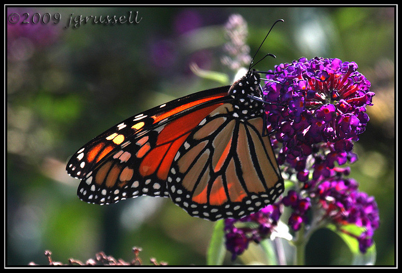 Monarch butterfly<br /> DeKorte Park<br /> NJ Meadowlands
