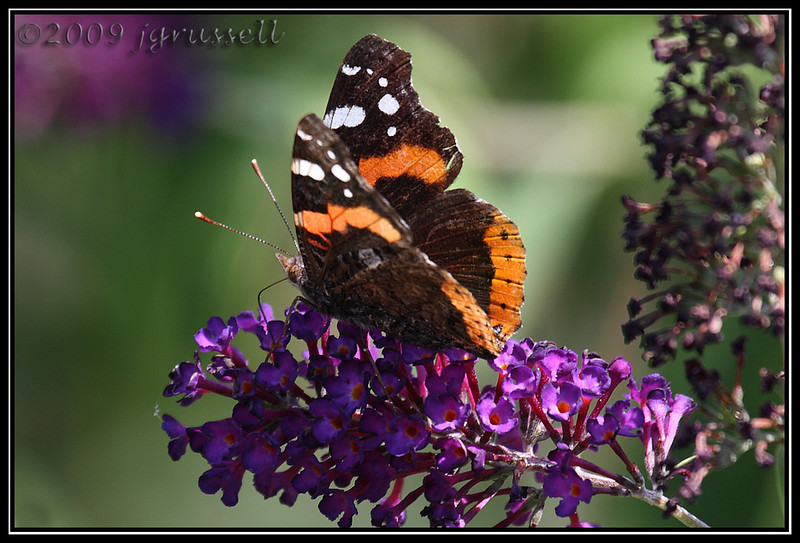Red admiral butterfly<br /> DeKorte Park<br /> NJ Meadowlands