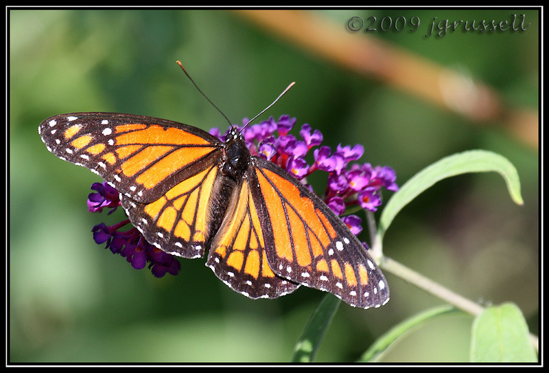 Viceroy butterfly<br /> DeKorte Park<br /> NJ Meadowlands