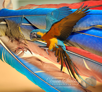Friday 24 January 2014: FEATHERS The feathers from these gorgeous Macaws are highly prized among the local Native American tribes, who use them in various religious ceremonies. My daughter-in-law, and by extension her parents are full-blooded Zuni, and I am told that when her dad arrives back at the reservation with a bag filled with these colorful beauties, he is one of the most popular guys in the tribe. Of course, if you knew Phil, you would know that he would be popular with, or without feathers!! :-)  With that said, let me state here and now, for the record, NO MACAWS WERE HARMED IN THE MAKING OF THIS PHOTOGRAPH!! Those feathers just fell out!! That's my story and I'm sticking to it!