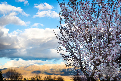Sunday 2 March 2014: BLOSSOMS & SNOWCAPS  What an incredible time of the year...beautiful blossoms are beginning to bud on the trees, and there is fresh snow on the top of the Sandias!! What does all that mean?? SUMMER is just around the corner!! YEA!!!!