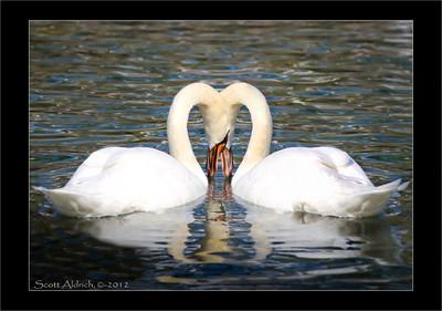Swans Sun Valley