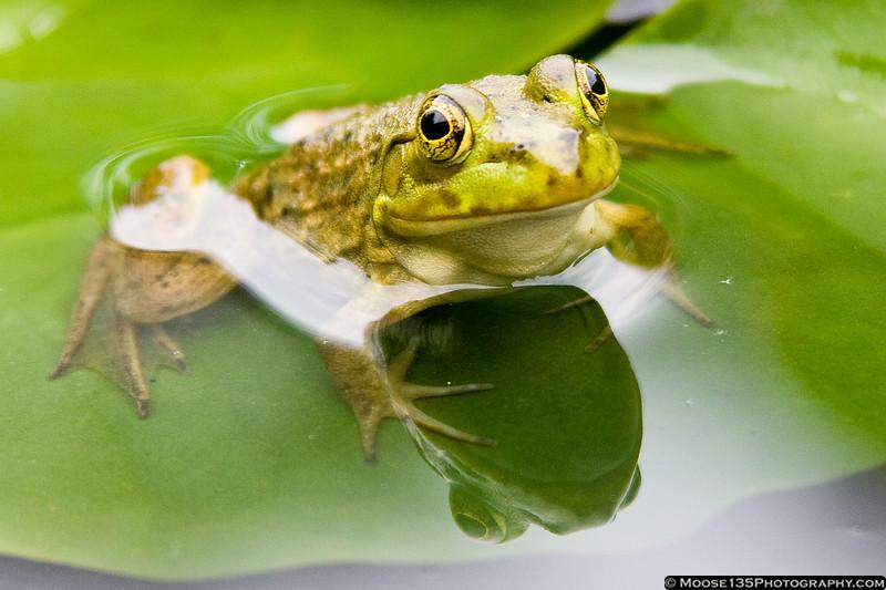 June 27 - Little green frog at PepsiCo Gardens