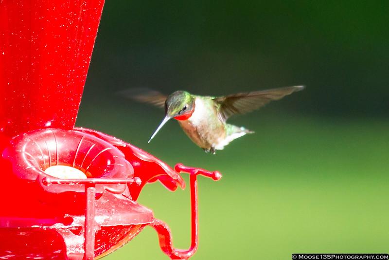 June 5 - Hummingbird at the Wertheim National Wildlife Refuge in Shirley.