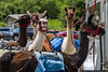 July 19 - Llamas...on the Blue Ridge Parkway.  Yes, llamas on the Blue Ridge Parkway...