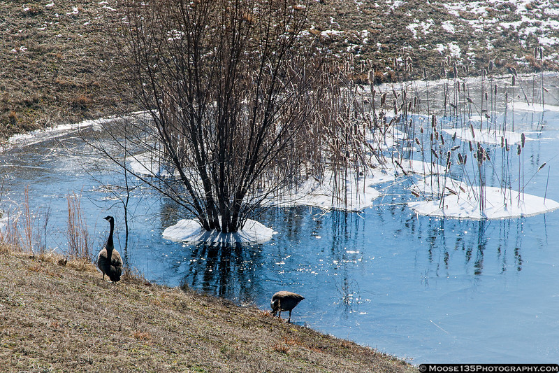 February 20 - You would think these geese would find someplace warm to hang out when it's 7 degrees outside!