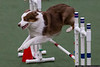 March 31 - It's a Flying Aussie at the Greater Monroe Kennel Club Dog Show!