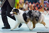 March 24 - Australian Shepherd goes through her paces at the Raleigh AKC Dog Show.