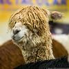 February 16 - Alpacas at the Cabarrus Arena for the Carolina Alpaca Celebration!