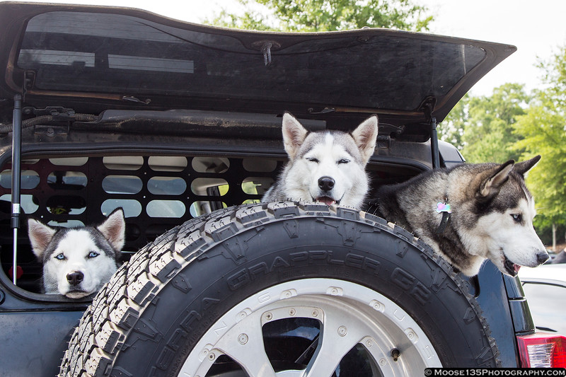 August 3 - Went to a Cars and Coffee meeting this morning, and found these huskies just hanging out.