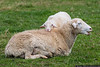 April 21 - Mama sheep and her little lamb on the grounds of the Biltmore Estate.