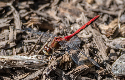 Dragonfly, White Faced Meadowhawk