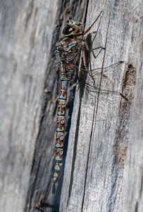 Dragonfly, Blue Eyed Darner