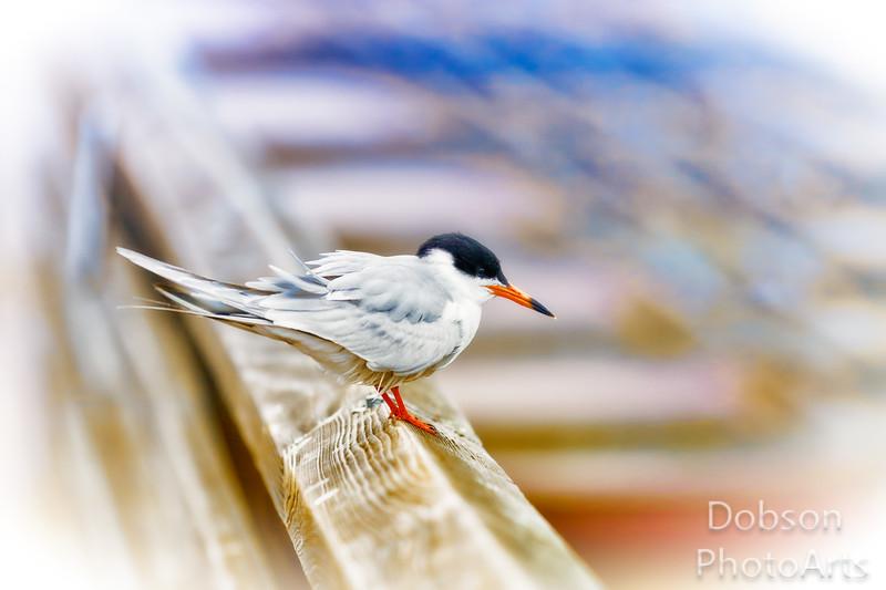 Begging Tern