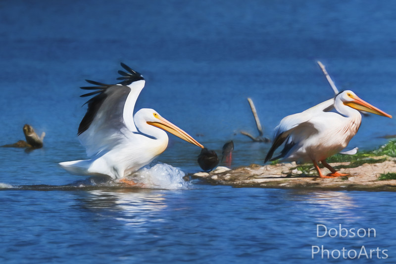 White Pelican at play