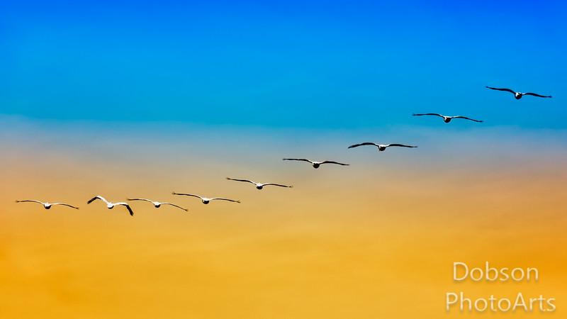 Whitet Pelicans at Dusk