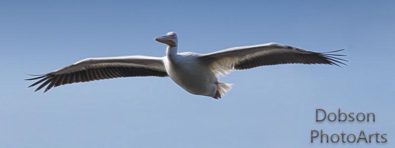Pelican  Dream