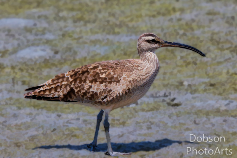 The Whimbrel Waits