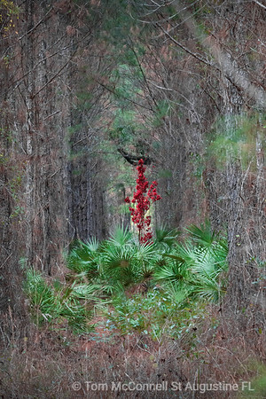PhotoArt - Lost Maple - Found Amongst the Southern Pines