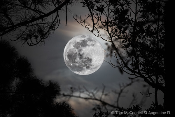 Big full moon caught between tree branches