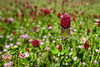 RedClover-7N2_0932