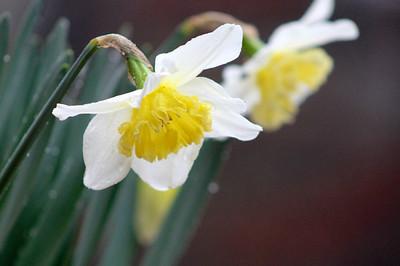 2/11 - Daffodils in Rain