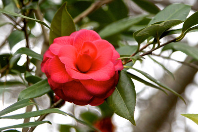 1/25 - Camellias