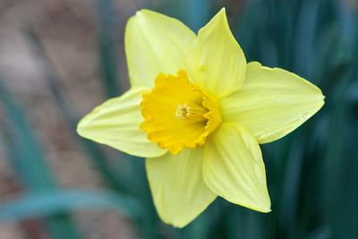 1/30 - First Daffodil