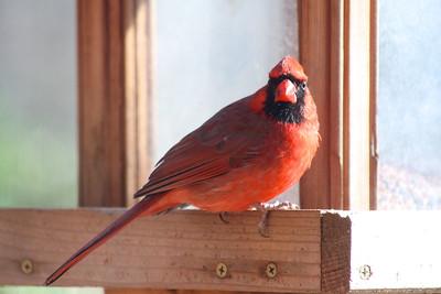 1/23 - Cardinal Stare-Off