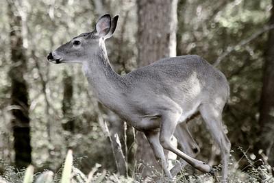 11/20 - Startled Deer
