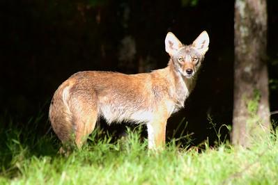 6/8 - Coyote in back yard