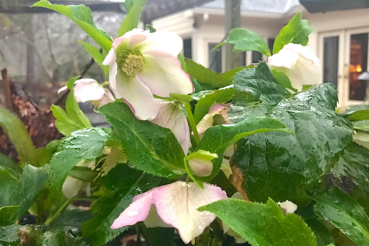 Lenten roses are in full bloom