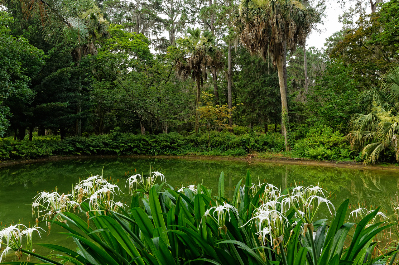 Florida spiderlilies (Hymenocallis crassifolia) bloom beside the Pond