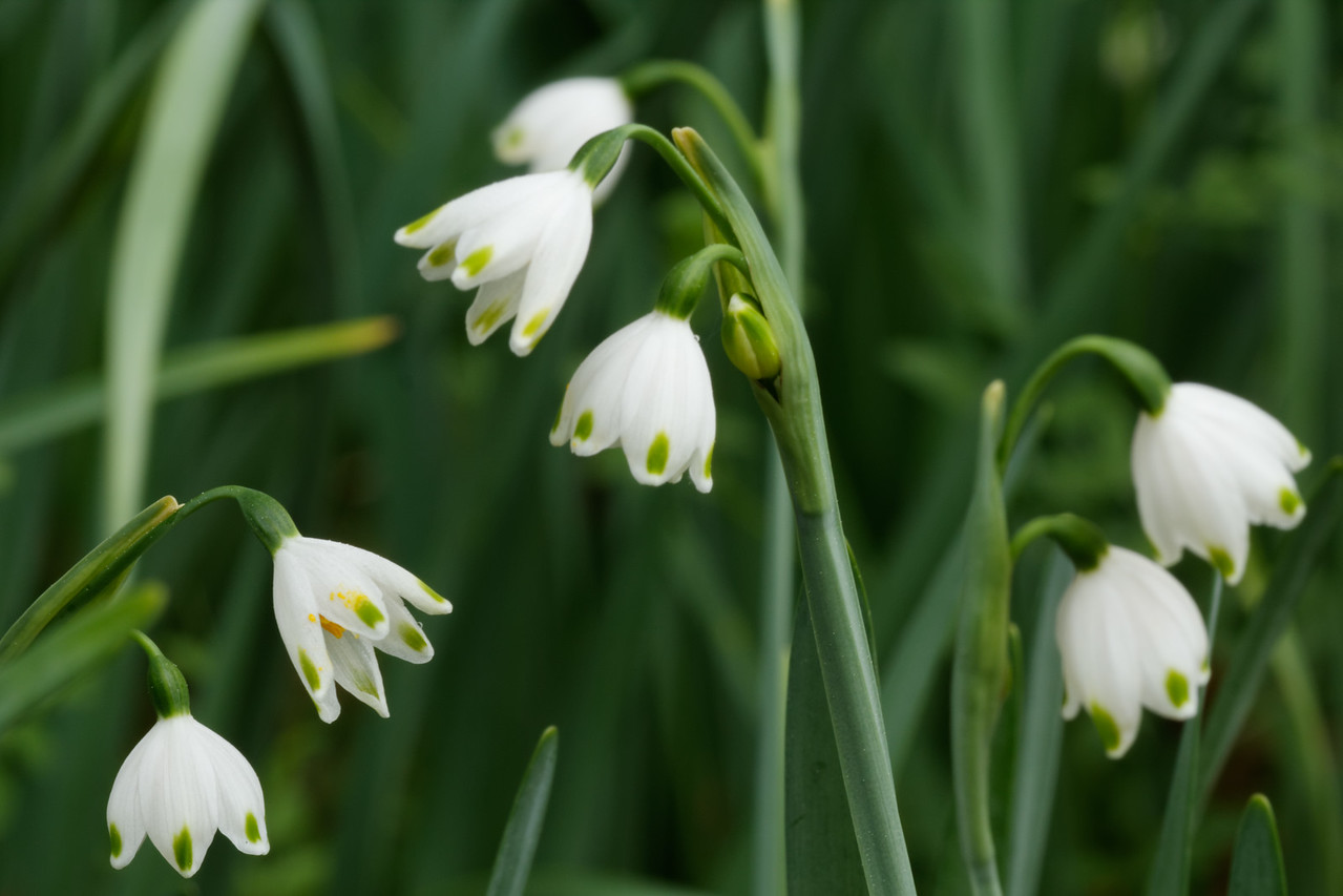 Spring snowflakes (Leucojum vernum)