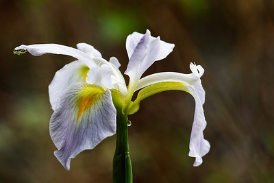 Blue flag iris (Iris giganticaerulea) with green lynx spider (Peucetia viridans)